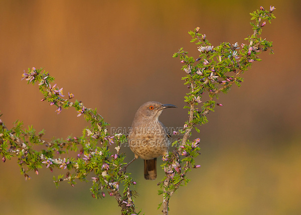 Curve-billed Thrasher (Toxostoma curvirostre) adult perched on blossoming shrub, Starr County, Rio Grande Valley, South Texas, USA
