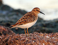 Least sandpiper in breeding plumage