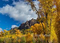 Aspen, Populus Tremula, Cimarron Ridge, Uncompahgre National Forest, Colorado