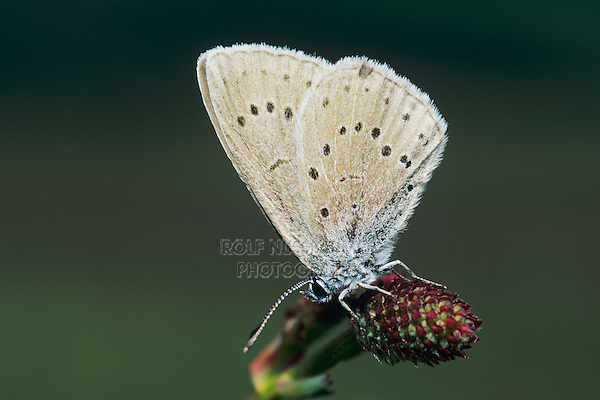 Scarce Large Blue, Maculinea teleius, adult on Great Burnet  (Sanguisorba officinalis) , Rheindelta, Germany, Europe