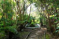 France, Manche (50), Vauville, Jardin botanique du château de Vauville, le Chemin de fougères, planté de fougères arborescentes (Dicksonia antartiaca et D. squarrosa)