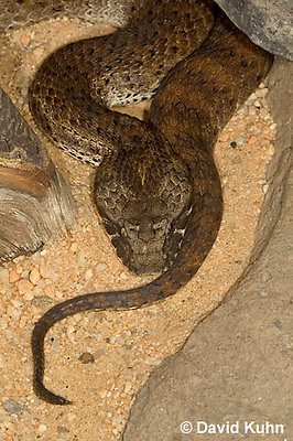 0122-08uu  Northern Death Adder - Acanthophis antarcticus © David Kuhn/Dwight Kuhn Photography