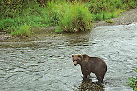 Grizzly bear (Ursus arctos) fishing for sockeye salmon (red in river), Alaska.