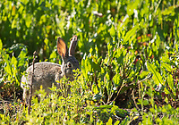 Desert Cottontail, Sylvilagus audubonii, at the Riparian Preserve at Water Ranch, Gilbert, Arizona