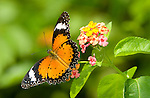 The Orange Lachewing butterfly ( Cethosia methypsea methypsia)