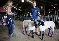 NWA Democrat-Gazette/DAVID GOTTSCHALK  Kiersta Clark, 12, of Centerton, watches her friend Mikenley Travis, 14, of Pea Ridge, Wednesday, August 9, 2017, walk her Market Lambs at the Benton County Fairgrounds in Bentonville. The lamb will be judged today. The fair runs through Saturday. The fair features exhibitions, animal shows, pageant and baby contest and carnival rides and  other attractions.