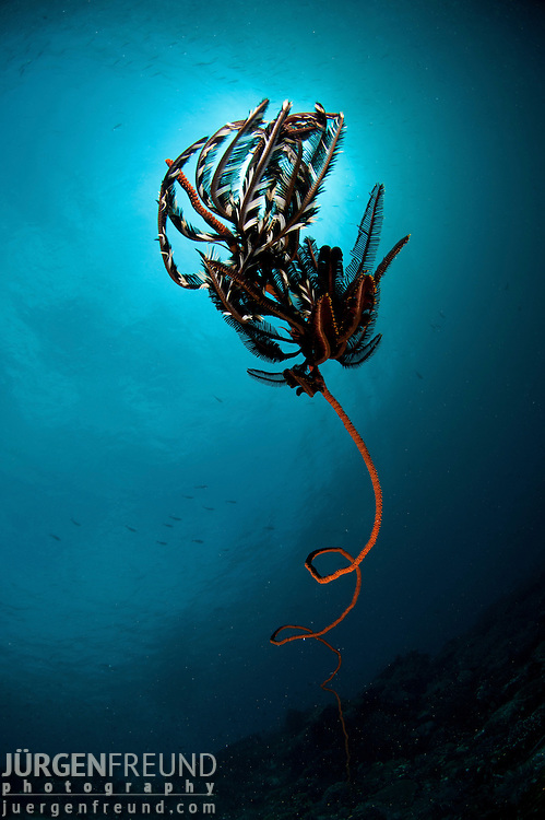 Whip coral in the reef with featherstars.