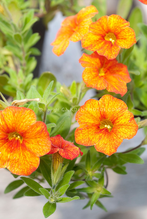 calibrachoa million bells crackling fire  plant  flower stock, Beautiful flower