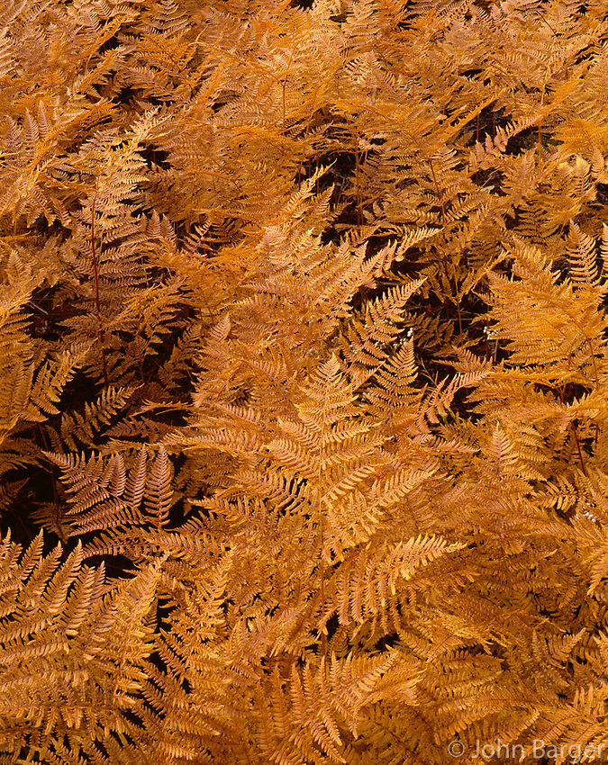 ORCAN_062 - USA, Oregon, Mount Hood National Forest, Bracken ferns display autumn color.