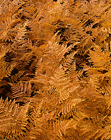 ORCAN_062 - USA, Oregon, Mount Hood National Forest, Bracken ferns display autumn color.
