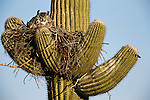 Great Horned Owl,  Saguaro National Park, Arizona
