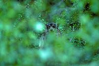 Wolf (Canis lupus) in vegetatie