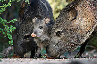 Collared Peccary with young