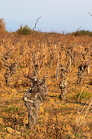 Domaine Mas Gabinele. Faugeres. Languedoc. Vines trained in Gobelet pruning. Old, gnarled and twisting vine. Terroir soil. In the vineyard. France. Europe.
