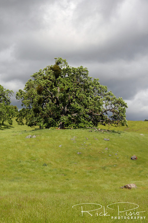 An oak tree stands atop a hill in the Sunol Regional Wilderness near Sunol, California.