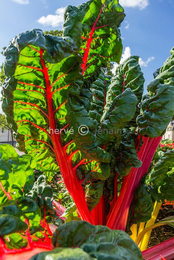 Red-stemmed chard, Beta vulgaris // Bette à cardes rouges dans les Jardins de l'Hopital de Buzançais