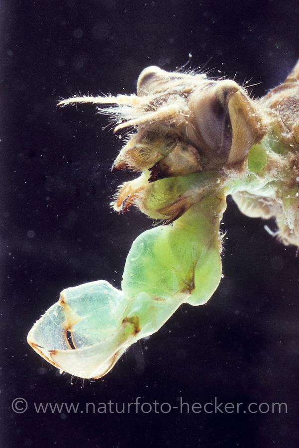 Plattbauch, Mundwerkzeuge, Mundwerkzeug, Fangmaske, Plattbauch-Libelle, Plattbauchlibelle, Libellula depressa, Broad-bodied Chaser, Broadbodied Chaser, broad bodied chaser