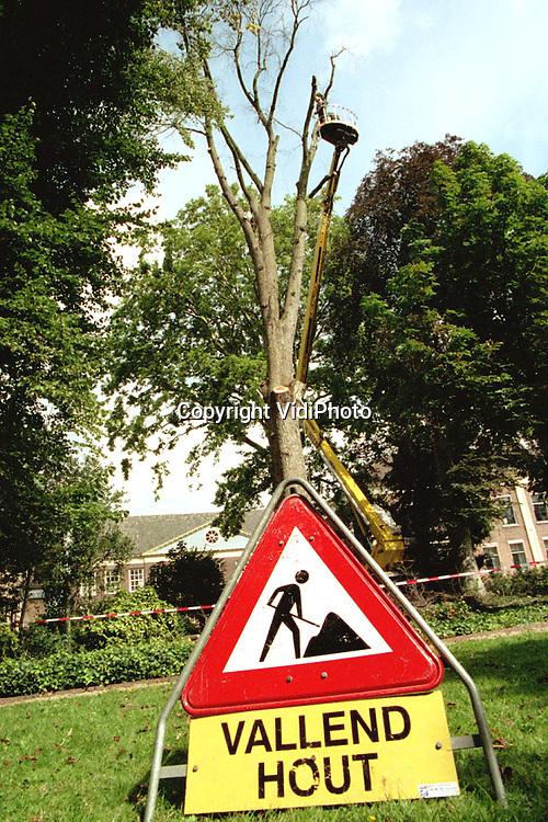Foto: VidiPhoto..TIEL - In Tiel is woensdag begonnen met het omzagen van een van de oudste iepen van Nederland. Begin deze maand bleek uit onderzoek dat de boom besmet was met de iepziekte en niet meer gered kon worden. Een deel van de iep is, na behandeling, bestemd voor Dierenpark Amersfoort. Daarnaast wordt van het hout een kunstwerk vervaardigd. Ook inwoners van Tiel kunnen een stukje van de 160 jaar oude boom krijgen. Donderdag wordt het laatste stuk van de iep omgezaagd.