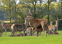 Red Deer stag and hinds. Yorkshire.