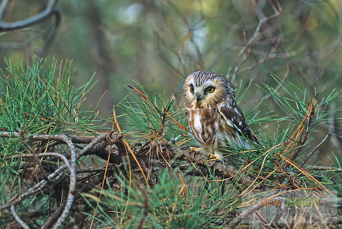 Saw-whet Owl, Pine Barrens, New Jersey