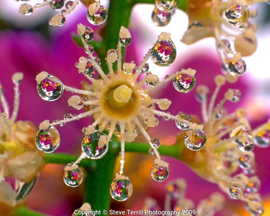 Cosmos flowers reflect in dewdrops clinging to laurel bloom in Portland Oregon
