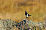 Northern American Magpie at Sunrise, Black-billed Magpie, Lower Mammoth, Yellowstone National Park, Wyoming