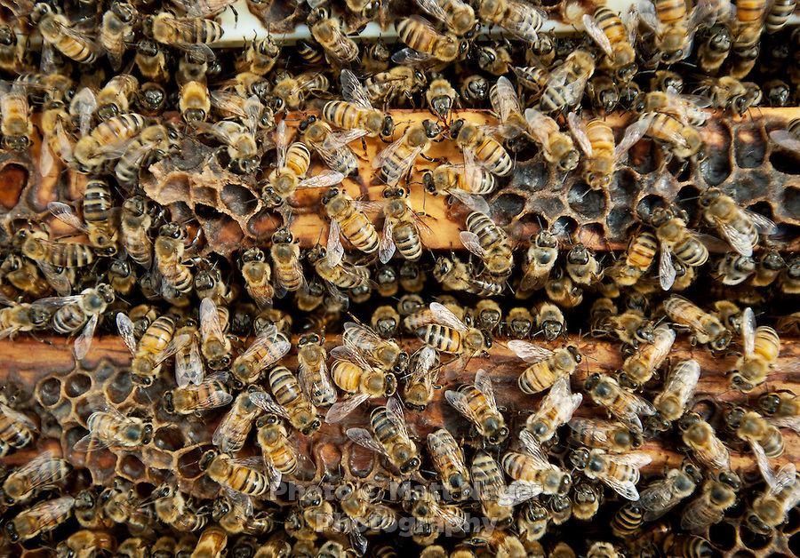 Brent Edelen's (cq) bees near Alamosa, Colorado, June 1, 2012. Bee keeping has been in Edelen's family for over six generations, originating in Switzerland...Photo by MATT NAGER
