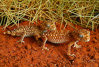 Few reptiles have the same appeal as the knob-tailed gecko. The tiny tail ending in a little round knob about half the size of a pea, the large beautifully patterned eyes and the face displaying a permanent smile all contribute to the character of this little lizard. The centralian knob-tail is the largest of the group reaching a total length of over 15cm, of which the tail comprises no more than about 3cm. The general body colour is a reddish-brown to match the colour of the red sands of its home. This is overlaid with lighter bands and white dots. The latter are actually some of the tiny spines or tubercles that cover the body of this species giving it a rough appearance and texture.