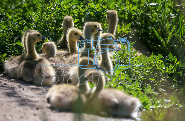 A Canada geese family feeds at Jake's Wetlands in Minden, Nev., on Wednesday, May 9, 2018. <br /> Photo by Cathleen Allison/Nevada Momentum