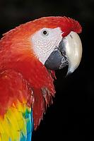 scarlet macaw, Ara macao, Playa del Carmen, Quintana Roo, Mayan Riviera, Yucatan Peninsula, Mexico, Central America