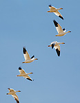 A line of Snow Geese flying over on their spring migration through Montana