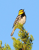 Adult male golden-cheeked warbler singing-this is my territory!