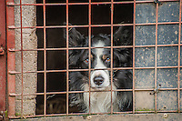 Working sheepdog in a pen, Northumberland.