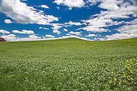 Rolling fields of Lentils in the Palouse.  The Palouse Is a region of Washington state where there are no continuous valleys, and the hills do not connect to make long ridges. These hills were not created by rivers and streams, as is most of our landscape, but formed more like sandunes, with winds depositing silt to form of some of the most fertile soil in the country.