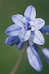 Wild Hyacinth flowers, blossoms and buds in western Montana