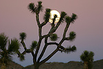 Joshua tree and moon at dusk