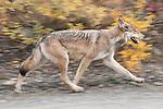 A gray wolf travels down a road in Denali National Park, Alaska.