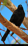 Red-Winged Blackbird, Lake Havasu, Arizona