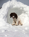 01/02/15<br /> <br /> Fifteen-week-old Springer Spaniel puppy, Chester, takes a break from playing in the snow inside an igloo near Chapel-en-le-Frith in the Derbyshire Peak District.<br /> <br /> All Rights Reserved - F Stop Press.  www.fstoppress.com. Tel: +44 (0)1335 418629 +44(0)7765 242650