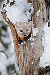 A pine marten peeks out from a protected hollow in a tree in Shoshone National Forest, Wyoming.