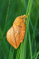 Grasglucke, Gras-Glucke, Trinkerin, Weibchen, Philudoria potatoria, Euthrix potatoria, drinker, female, La Buveuse, Bombyx buveur, Glucken, Lasiocampidae