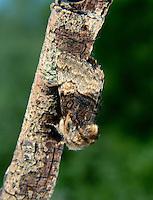 Nut-tree Tussock - Colocasia coryli