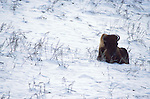 Bison (Bison bison) - in snow, captive .USA....