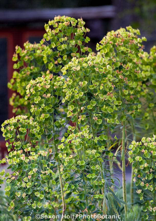 Euphorbia in Barbata garden, Walnut Creek, California