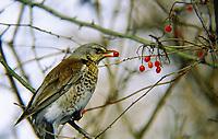 Wacholderdrossel, frisst Früchte vom Gemeinen Schneeball, Wacholder-Drossel, Turdus pilaris, fieldfare, La Grive litorne