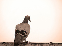 Stock image lonely Pigeon sitting on wall turning back, in sepia tone.<br />