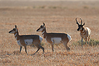 Pronghorn antelope, Antilocapra americana, Grand Teton National Park, Wyoming, USA