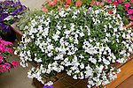 LOBELIA ERINUS 'TECHNO HEAT WHITE '10'