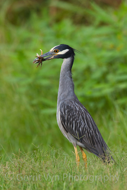 Adult Yellow-crowned Night-Heron (Nyctanassa violacea) with fiddler crab prey. Plaquemines Parish, Louisiana. July 2010.
