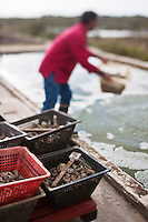Europe/France/Poitou-Charentes/17/Charente-Maritime/Ile de Ré/Ars-en-Ré: l'Huitrière de Ré, ferme ostréicole de Tony Berthelot